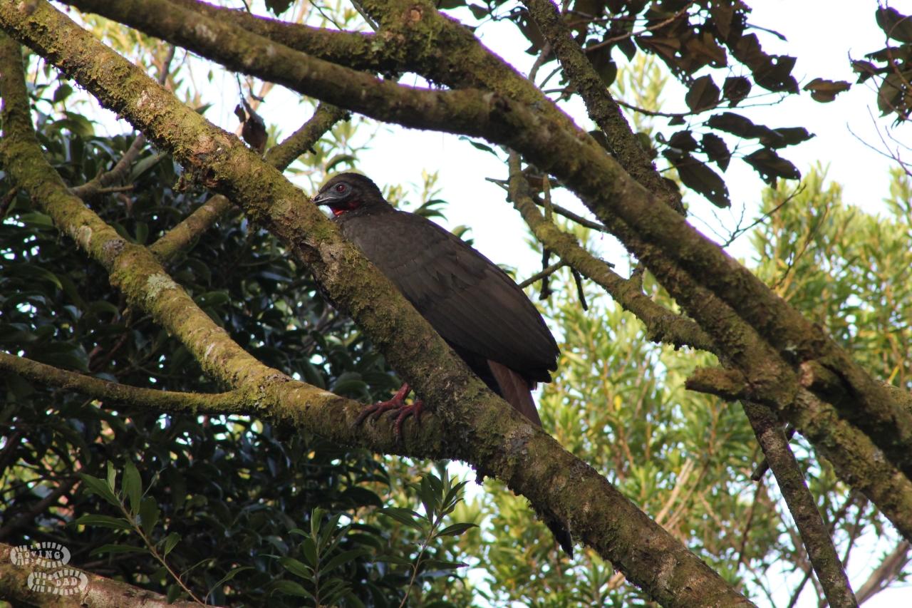Turkeybuzzard